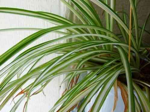 Natural Air Purifier Spider plant
